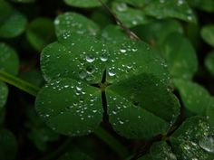 Find a 4 leaf clover