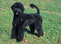 Look Back Portuguese Water Dog was bred to accompany fisherman on their boats. An exceptional swimmer and diver, the breed retrieved broken nets, dove for fish, carried messages between boats and to shore, and guarded the boat for his master in foreign ports. The breed started disappearing in the early 20th century when technology made his daily job somewhat obsolete, but Dr. Vasco Bensaude, a wealthy Portuguese shipping magnate and dog fancier, saved the breed.