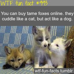 rx online fox facts – Mammal – WTF fun fact You can buy tame foxes online. they cuddl… fox facts – Mammal – WTF fun fact You can buy tame foxes online. they cuddle like a cat, but… Continue Reading → Animals And Pets, Baby Animals, Funny Animals, Cute Animals, Wild Animals, Le Zoo, Chesire Cat, Like A Cat, Weird Facts
