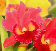 Rhyncholaeliocattleya (Rlc.) Sanyung Ruby