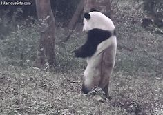 Panda pole dance, hmm, that looks like a panda trying to scratch an itchy spot on his back!