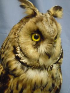 http://www.ebay.com/itm/Taxidermy-hunting-chasse-praparat-Long-eared-Owl-dated-1933-/381465344693?_trksid=p2047675.l2557