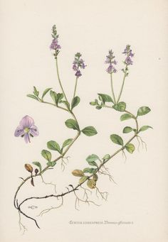 1950's Botanical Print Veronica officinalis by AntiquePrintGarden