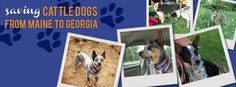 Cattle Dogs - Please Share - Adopt/Foster to save 1