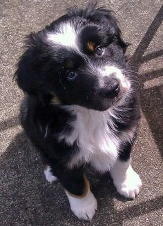Hi, my name is Luke. I am a 7 week old Mini Aussie and I live in Oregon with my mommy and daddy. I also have 2 feline friends that I like to play with, although sometimes they want to do a little boxing on my head. I have a sweet little heart on my head...my mom says it's because I am so loved. My favorite things to do are: play outside, chew on my new fun toys and bones and lick the kitties' faces. I am so excited because my mom says we can go to the beach this weekend to play in the sand!
