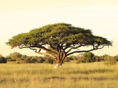 Acacia > Fastest Growing Trees in the World