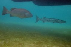 Dog Snapper & Great Barracuda