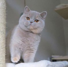british shorthair cats Scottish Straight cats Creatures of unearthly beauty They live on earth. Cute Cats And Kittens, I Love Cats, Crazy Cats, Cool Cats, Kittens Cutest, Ragdoll Kittens, Bengal Cats, White Kittens, Kitty Cats