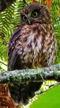 Morepork Sea Birds, Wild Birds, Beautiful Birds, Animals Beautiful, Extinct Birds, Mountain Drawing, Kiwiana, Alligators, Birds Of Prey