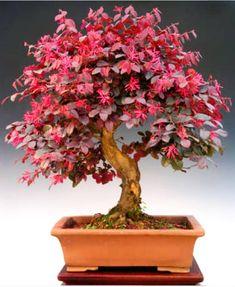 O Hamamélis (Loropetalum chinense) ainda é pouco conhecido no Brasil. Floresce várias vêzes durante o ano, inclusive no inverno. Sua florada na coloração rosa - vivo é espetacular !!! Compre a sua agora  www.abcdobonsai.com.br  #ABCDoBonsai #ArteDoBonsai #InstaBonsai #Curiosidades #ArteViva #AmantesDoBonsai
