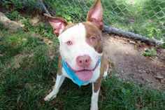 COLUMBO - A1117101 - - Manhattan  TO BE DESTROYED 07/12/17 **ON PUBLIC LIST**A volunteer writes: Fun, friendly, playful, and throw in gorgeous, and Mr. Columbo is a puppy you'll want to meet. He's a big boy, all puppy playful, and clearly doesn't know how big he is. A little positive reinforcement training will teach him not to jump, but when he wags his tail and offers up a huge smile, your heart will melt. It was a hot, steamy day as we walked to the par