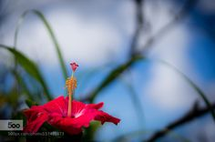 hibiscus by xxxxN. Please Like http://fb.me/go4photos and Follow @go4fotos Thank You. :-)