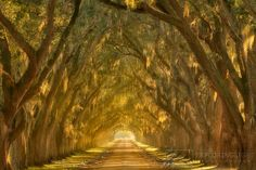 """Beautiful late afternoon light illuminates this oak lined alley along the Mississippi River outside New Orleans, Louisiana.  """"Illumination Alley"""" photo by Chris Moore http://exploringlight.photoshelter.com/gallery-image/New-Orleans/G0000yYmlWv6gxu4/I0000GUsi3IqWB04"""