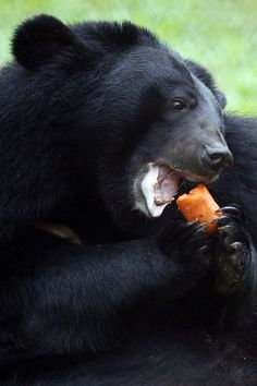 Black bears in the National Park Tam-Dao, Vietnam