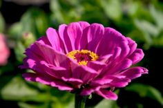 This guide is about growing zinnias. These annual flowers originally grew as wildflowers.
