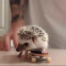 hedgehog pet - Google Search