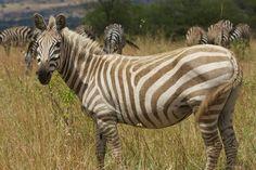Albino zebra...what a beauty. (Serengeti Migration Camp) Photo credit: Ryan Mc Farlane