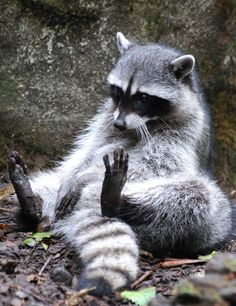 This Raccoon (Procyon lotor) has the right idea…photograph by OnceAndFutureLaura