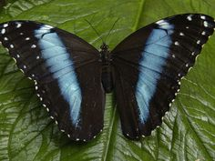 equador butterfly photos   ... Peleides) Butterfly, on a Leaf in the Rainforest, Ecuador Photographie