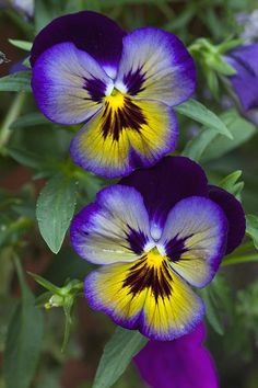Pansies - Me N You Art Print by James Roemmling. Pansies - Me N You Art Print by James Roemmling. Most Beautiful Flowers, Exotic Flowers, Pretty Flowers, Simply Beautiful, Arte Floral, Flower Photos, Images Of Flowers, Purple Flower Pictures, Pansies