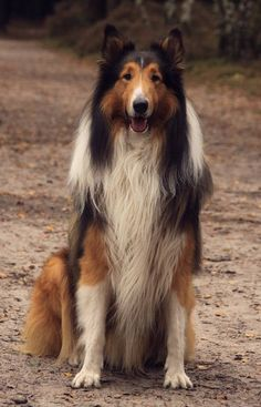 Not my Collie but this guy is perfect!
