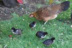 An intimate story about my near death experience. Surviving makes you see differently. We are surrounded by belonging reminders, especially by the chickens.