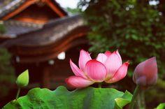 """429 Likes, 3 Comments - タカ坊🇯🇵 (@takabo2017) on Instagram: """"仏教では涅槃の境地を象徴する神聖な花とされる蓮、仏はこの花の上に座す。また、泥の中から伸びて美しい花を咲かせるところから、中国では聖人の花とされた。…"""""""