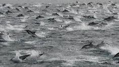 Dolphins - Unlike whales, they do not migrate very far, but instead move due to seasonal changes and in search of tropical waters