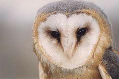Tyto alba,Astur