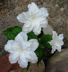 Trillium grandiflorum 'Snow Bunting' A distinct fully double white form which is very beautiful, is perhaps the best known, T. grandiflorum, although it has to be searched for, and commands very high prices!