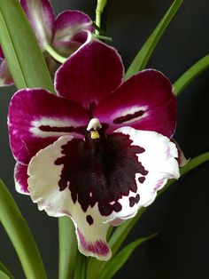 pansy orchids | Recent Photos The Commons Getty Collection Galleries World Map App ...