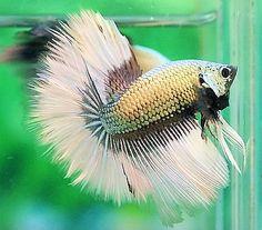 Copper Black WHite BF DG OHM Beta Fish, Siamese Fighting Fish, Exotic Fish, Betta, Under The Sea, Koi, Creatures, Copper, Collections