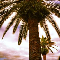 Tampa Palm Trees