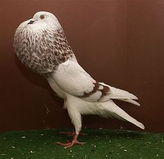 X Pigeon Pictures, Bird Pictures, Love Birds, Beautiful Birds, Tumbler Pigeons, Racing Pigeon Lofts, Pigeon Breeds, Palomar, Racing Pigeons