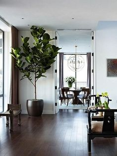 Fiddle Leaf Fig Tree Indoor Trees make design statements and blend into the background adding warmth and life to a room. Often, they provide the height element that the room needs. Indoor Trees, Potted Trees, Indoor Plants, Ficus, Fiddle Leaf Fig Tree, Fiddle Fig, House Plants Decor, Interior Plants, Planting Flowers