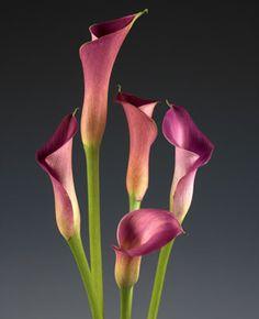 Lipstick Calla Lilies | Lipstick Mini Calla Lilies (LIPSTICK)