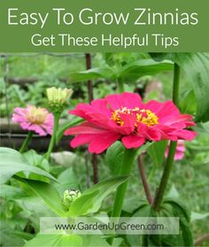 Get tips for growing zinnias, these wonderful flowers attract butterflies and they're easy to grow. Enjoy in the garden or use as cut flowers. Growing Zinnias From Seed, Growing Flowers, Planting Flowers, Flower Gardening, Flowers Garden, Butterfly Plants, Garden Shrubs, Garden Plants, Garden Landscaping