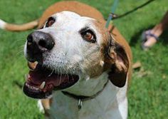 Nov. is Adopt a Senior Dog Month with $20 adoption fees for a senior dogs like Reno. He's a happy 7-yr-old Hound!