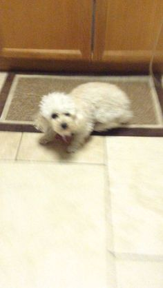 Lost Dog - Poodle in KINGS PARK, NY	 Pet Name:	Baby   (ID# 46306) Gender:	Male Breed:	Poodle Color:	White Color 2:	Tan/Cream Pet Size:	X-Small (2-9lbs) Pet Age:	5 years 1 month Date Lost:	12/22/2013 Zip Code:	11754 (KINGS PARK, NY)      	 Pet Name:	Baby   (ID# 46306) Gender:	Male Breed:	Poodle Color:	White Color 2:	Tan/Cream Pet Size:	X-Small (2-9lbs) Pet Age:	5 years 1 month Date Lost:	12/22/2013 Zip Code:	11754 (KINGS PARK, NY) See All Lost Dogs In KINGS PARK, NY
