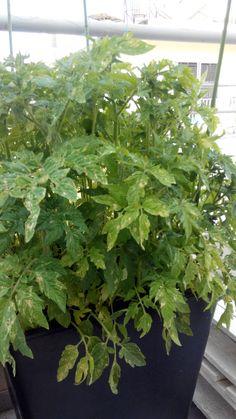 tomates 28/4/15