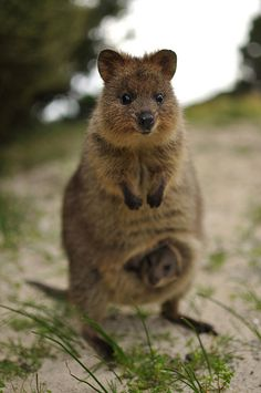 Quokka and its baby - The Quokka is a native Australian animal found only on Rottnest Island, Western Australia.