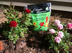 Add rock dust to compost tea to keep roses blooming all season long.