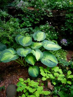 'Great Expectations' in a very shady area under a Japanese maple with 'Emerald Tiara' hosta