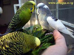 Pássaros que enfeitam nossas vidas: PERIQUITO-AUSTRALIANO