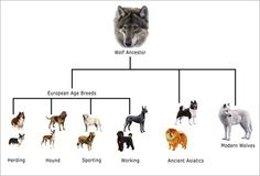 Dog Selective Breeding History