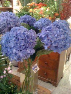 HUGE hydrangeas at Westmount Florist.