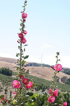 The sky's the limit for these hollyhocks.