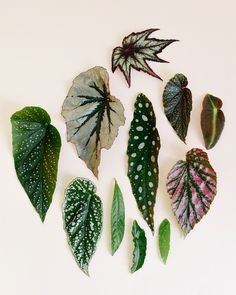Rare Plants, Exotic Plants, Begonia Maculata, Pothos Plant, Inside Plants, Plant Aesthetic, Variegated Plants, Interior Plants, Different Plants