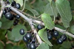 European buckthorn berries (Photo by Helen Fabbri, City of Winnipeg Naturalist Services Branch) Native Gardens, Invasive Plants, Shrubs, Habitats, Berries, City, Bury, Cities, Blackberry