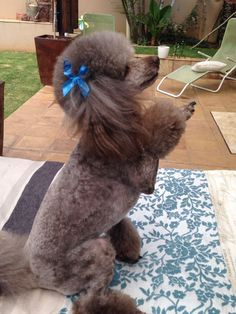 Adorable Zazi #poodle